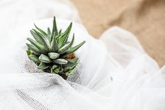 Saftige Anlagealoe Aristata Haworthia langsam wachsender Succulent lizenzfreies stockfoto