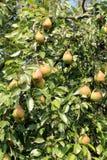 Saftige Birnen auf Baum Stockfoto
