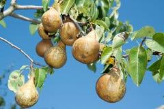 Saftige Birnen auf Zweigbaum Stockbild