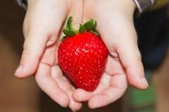 Saftige Erdbeeren in den Kind-` s Palmen Erdbeeren in der Hand Lizenzfreie Stockfotos