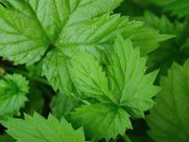 Saftige grüne Blätter von Trauben Stockbild