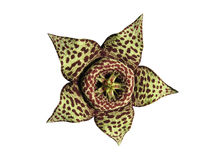Saftige Kaktusblumenlokalisierung stockbilder