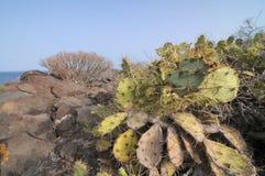 Saftige Kaktuspflanze in der Wüste Stockbilder
