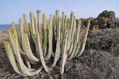 Saftige Kaktuspflanze in der Wüste Lizenzfreies Stockfoto