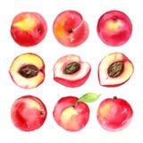 Saftige reife Pfirsiche Geschnittene Früchte lokalisiert auf weißem Hintergrund Gesunde Lebensmittelzeichnung des Sommers Von Han Stockfotografie