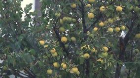 Saftige schöne überraschende nette Äpfel auf dem Baumast regnen unter der Dusche mit leichter Brise Flache Tiefe des Feldes stock video