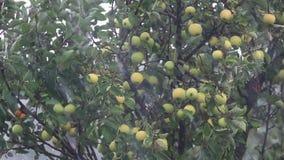 Saftige schöne überraschende nette Äpfel auf dem Baumast regnen unter der Dusche mit leichter Brise Flache Tiefe des Feldes stock footage