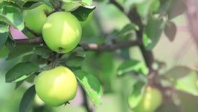 Saftige schöne überraschende nette Äpfel auf dem Baumast, sonniger Sommerguter tag mit leichter Brise Flache Tiefe des Feldes, ge stock footage