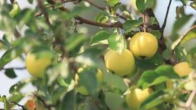 Saftige schöne überraschende nette Äpfel auf dem Baumast, sonniger Sommerguter tag mit leichter Brise Flache Tiefe des Feldes, ge stock video footage