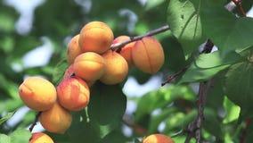 Saftige schöne erstaunliche nette Aprikosenfrucht auf dem Baumast, sonniger Sommerguter tag mit leichter Brise Flache Tiefe des F stock video