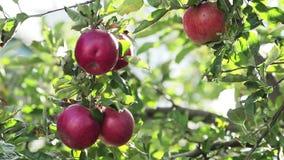 Saftige schöne erstaunliche nette rote Äpfel auf dem Baumast, Herbstsonnenuntergang mit leichter Brise stock footage