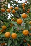 Saftige und reife orange Tangerinen auf einem Baumast stockfotografie
