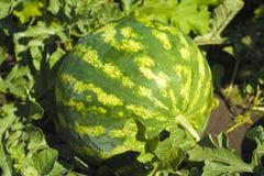 Saftige Wassermelone auf einem Bett Lizenzfreies Stockbild