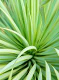 Saftige Yuccabetriebsnahaufnahme, -dorn und -detail ?ber Bl?tter von Narrowleaf-Yucca stockfotografie