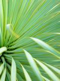 Saftige Yuccabetriebsnahaufnahme, -dorn und -detail ?ber Bl?tter von Narrowleaf-Yucca lizenzfreies stockfoto