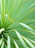 Saftige Yuccabetriebsnahaufnahme, -dorn und -detail ?ber Bl?tter von Narrowleaf-Yucca lizenzfreies stockbild