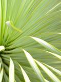 Saftige Yuccabetriebsnahaufnahme, -dorn und -detail ?ber Bl?tter von Narrowleaf-Yucca lizenzfreie stockfotografie