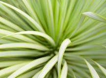 Saftige Yuccabetriebsnahaufnahme, -dorn und -detail ?ber Bl?tter von Narrowleaf-Yucca stockfotos