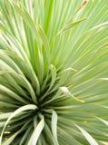 Saftige Yuccabetriebsnahaufnahme, -dorn und -detail ?ber Bl?tter von Narrowleaf-Yucca stockbild