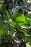 Saftiger Abschluss des Aeonium Betriebsherauf grünes Blatt Stockfotografie