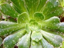 Saftiger Aeonium mit Regentropfen Lizenzfreies Stockbild