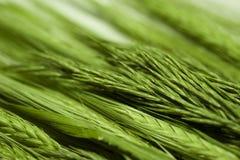 Saftiger grüner Weizen und Gras Stockfotos