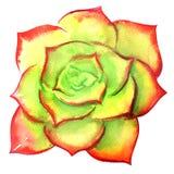 Saftiger korsischer Mauerpfeffer, grünes sedum Lucidum, Draufsicht, Anlage lokalisiert, Handgezogene Aquarellillustration auf Wei lizenzfreie abbildung