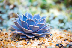 Saftiges Echeveria stockfotografie