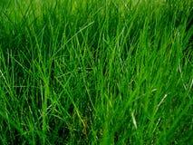 Saftiges Gras Stockfotografie