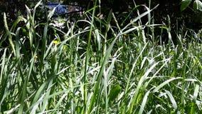 Saftiges Gras in der Wiese im Frühjahr lizenzfreies stockfoto