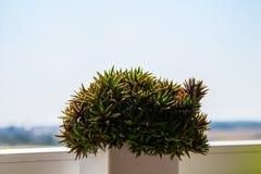 Saftiges haworthia auf dem Fenster Stockfotos