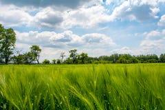 Saftiges Weizenfeld Stockbild