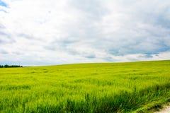Saftiges Weizenfeld Stockbilder