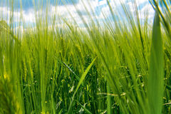Saftiges Weizenfeld Stockfoto
