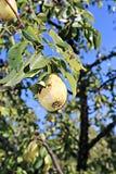 Saftigt gult päron på en filial Arkivbild