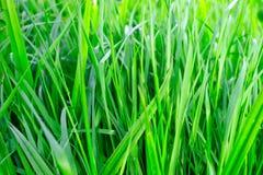 Saftigt inte vått grönt gräs som växer upp, nytt gräs Royaltyfri Fotografi