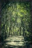 Saga-som bana till och med mangroveskogen Arkivbild