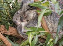 Sagacidade do urso de Koalo seu nativo do bebê a Austrália imagem de stock royalty free