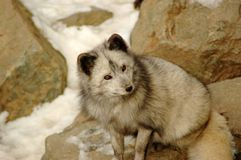 Sagacious look. Arctic fox. Stock Photography
