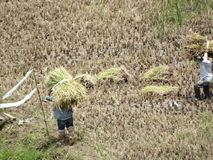 Sagada,吕宋,菲律宾的米领域 免版税图库摄影