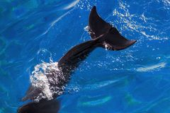 Sagan av den yong Bottlenosedelfin dyker royaltyfri fotografi