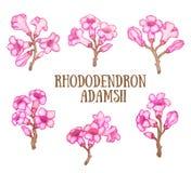 Sagan-dali del adamsii del rododendro, ejemplo de la acuarela del arbusto del té de Labrador libre illustration