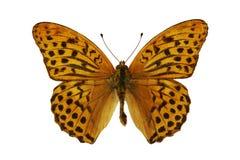 Sagana de Damora (mariposa) Fotografía de archivo