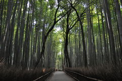 Sagano Bamboo Stock Photography
