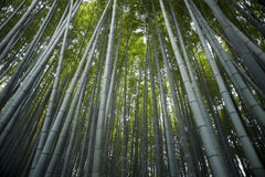 Sagano Bamboo Forest Stock Photography