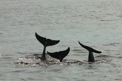 Sagasvansen av tre delfin fotografering för bildbyråer