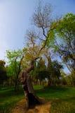 Sagaträd som charmar trädet, vår Tid för Turkiet, gräs- fält arkivbild