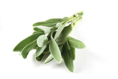 Sage. A branch of Sage on a white background stock photography