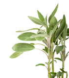 Sage. Branches of sage on a white background stock photography
