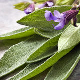 Sage. Flowering sage, fresh-picked.  Square crop Stock Images